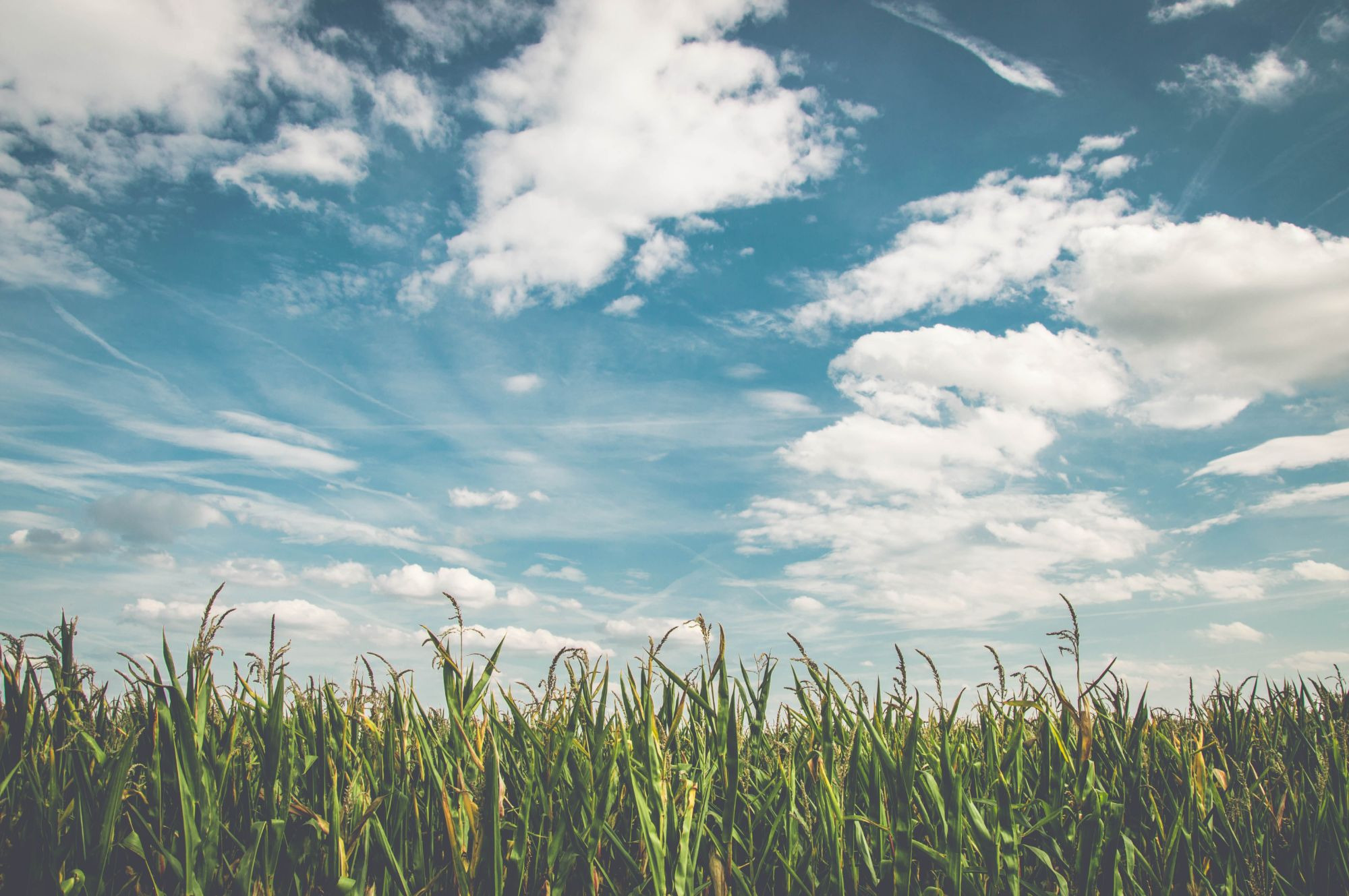 corn-fields-under-white-clouds-with-blue-sky-during-daytime-158827-1584872207.jpg